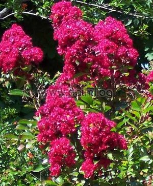 Crape Myrtle 'Red Imperator'