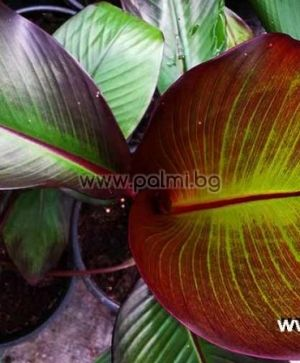 Red Abyssinian Banana,  'Maurelii'