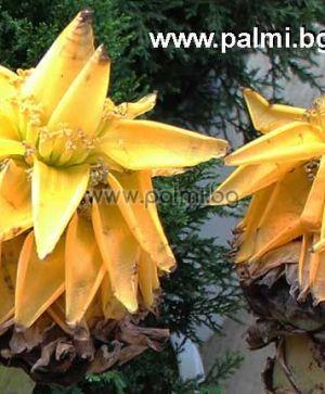 Банан - Китайски Златен Лотус, Музела