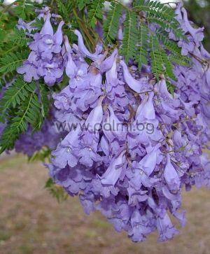 Palisanderbaum