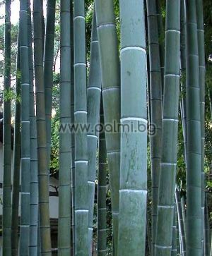 Giant Moso Bamboo