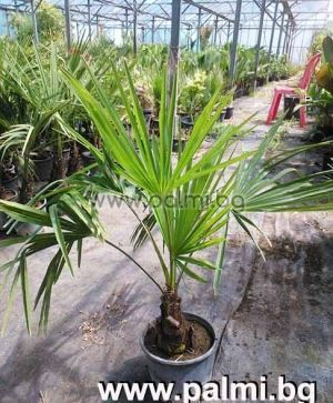 Windmil palm, Chusan palm, Trachycarpus palm