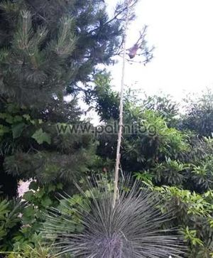 Студоустойчива Юка Елата, Сапунено дърво