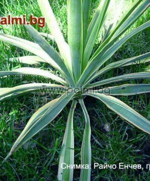 Студоустойчива Юка Глориоза с пъстри листа
