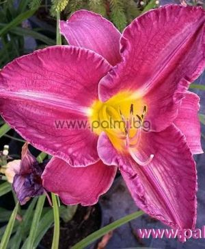 Daylily 'Glazed Heather Plum'
