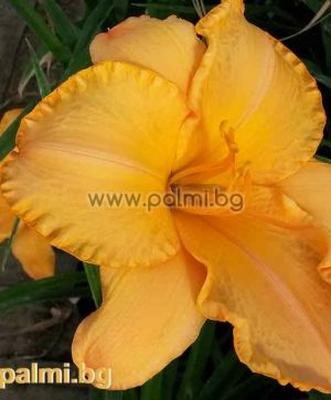 Daylily 'Caracas Candle'