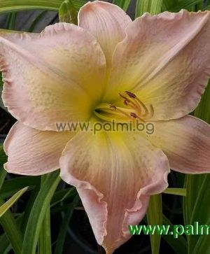 Daylily 'Mable Lewis Nelson'