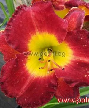 Daylily 'Dragon King'