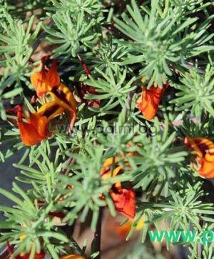 Lotus berthelotii, Kanarischer Hornklee  von Botanischem Garten - Plovdiv, Bulgarien