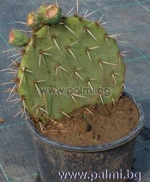 Студоустойчив ядлив кактус Опунция