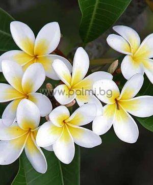 62. Франджипани, бяла Плумерия