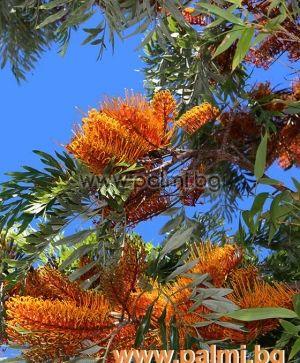 Grevillea robusta, Australische Silbereiche  von Botanischem Garten - Plovdiv, Bulgarien