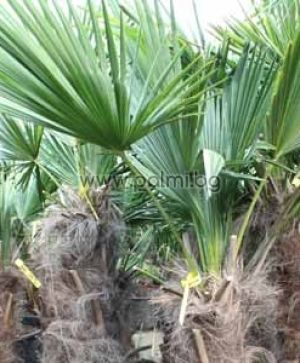 Windmil palm, Chusan palm, Trachycarpus palm 0,4-0,5 m trunk