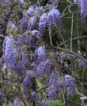 Wisteria sinensis, Chinesischer Blauregen