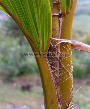 Кокосова палма