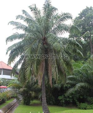 African Oil Palm