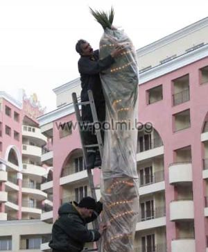 For winter heating of palm trees