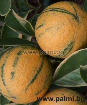 Citrus sinensis variegata,  Panaschierter Orangenbaum von Botanischem Garten - Plovdiv, Bulgarien