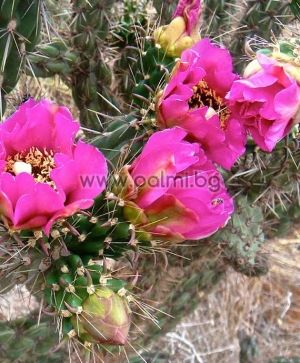 Walking Stick Cholla, Tree Cactus