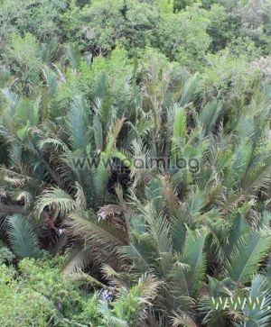 Палма Нипа - прорастнал орех