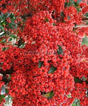 Pyracantha coccinea Red Cushion, Feuerdorn 'Red Cushion'
