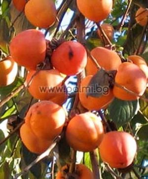 Райска ябълка, сорт Ванилия (Vaniglia)