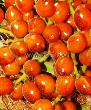 Mediterranean Fan Palm, 20 seeds