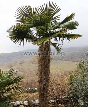"Trachycarpus 'Bulgaria', Легендарните палми Трахикарпус ""България"""