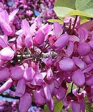 Див рожков, Юдино дърво