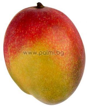 Mango variety Osteen