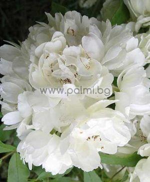 Бяла роза на Лейди Банкс