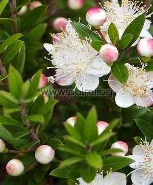 ssp. Tarentina, True Myrtle, Tarentum Myrtle