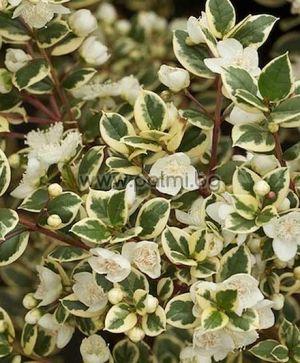 Мирта с пъстри листа, 'Variegata'