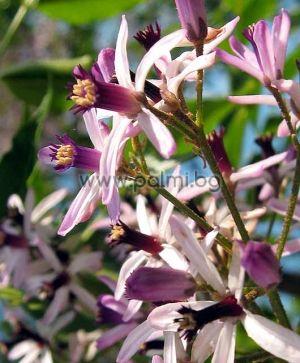 Melia azederach, Persischer Flieder, Pagodenbaum, Paternosterbaum  von Botanischem Garten - Plovdiv, Bulgarien