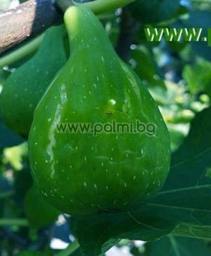 Смокиня Магнифика Суха (Magnifica Dry)