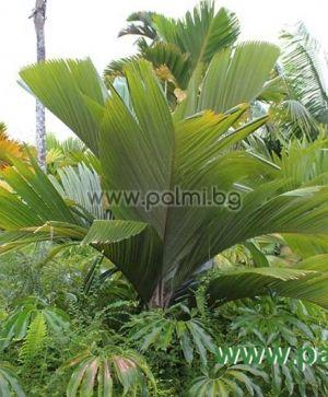 Verschaffeltia splendida, Seychelles Stilt Palm, Latanier Latte  from Botanical garden - Plovdiv, Bulgaria