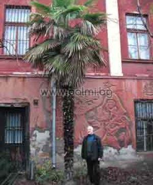 Трахикарпус 'Пловдив', пакет 100 броя пресни семена