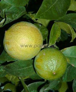 Citrus bergamia, Bergamotte  von Botanischem Garten - Plovdiv, Bulgarien