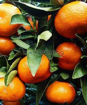 Citrus x Clementine  Mandarine Clementine von Botanischem Garten - Plovdiv, Bulgarien