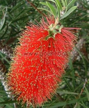 Callistemon rigidus, Bottle brush