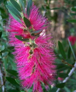 Callistemon 'Rosea', Pink Bottle brush