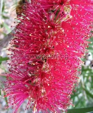 Callistemon citrinus 'Mauve Mist', Purple Bottle brush