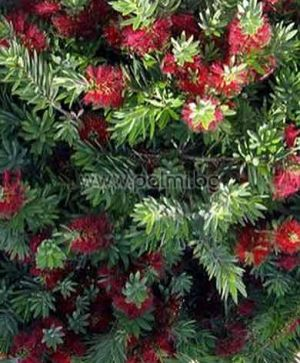 Callistemon viminalis 'Little John', Dwarf Bottle brush