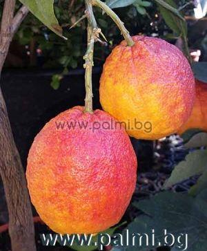 Citrus limon red, Червен лимон