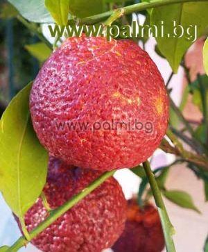 Citrus x Tacle, Червен лимон  Хибрид между червен портокал Tarocco и Клементина