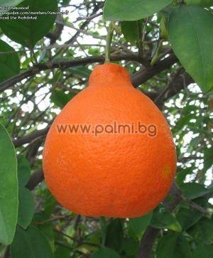 Citrus x Tangelo Minneola