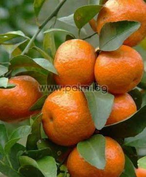 Citrus x Cami  Hybrid Mandarine Cami von Botanischem Garten - Plovdiv, Bulgarien