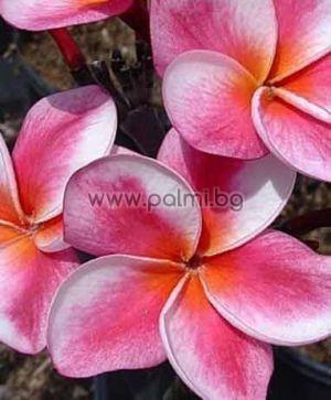 Plumeria rubra cv. Elsie, Плумерия сорт Елси, Франджипани