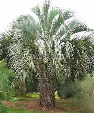 Butia capitata, Pindo palm, Jelly palm