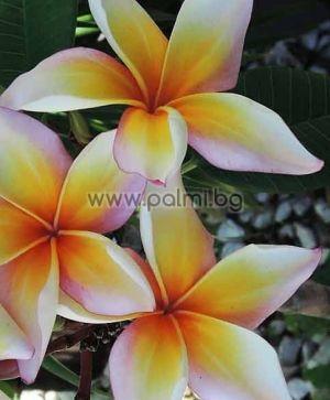 Plumeria rubra cv. Xanadu, Плумерия сорт Ксанаду, Франджипани
